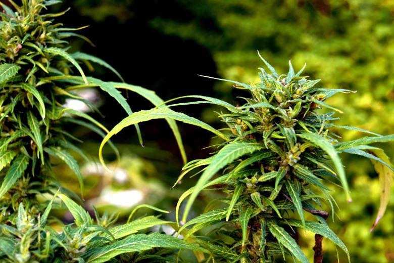 Los principios activos de la marihuana y sus propiedades