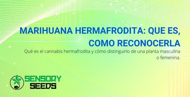 Cómo reconocer la planta de marihuana hermafrodita y distinguirla de las demás