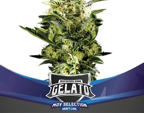 Semillas de cannabis Gelato XXL Auto