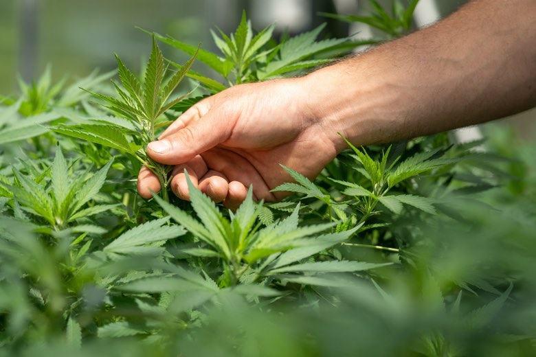 Una planta hermafrodita podría estar estresada
