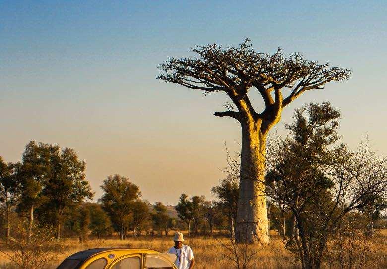 Un baobab con ramas horizontalmente como en el método Scrog