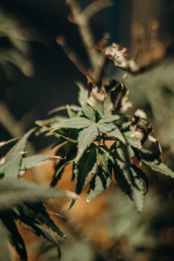 Botrytis planta de cannabis enferma