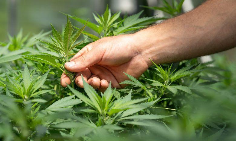 Cultivador analizando una planta de cannabis