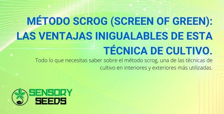 La técnica de cultivo Scrog Method (Screen of Green): las ventajas incomparables