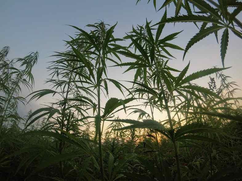 Las plantas autoflorecientes de exterior no necesitan poda