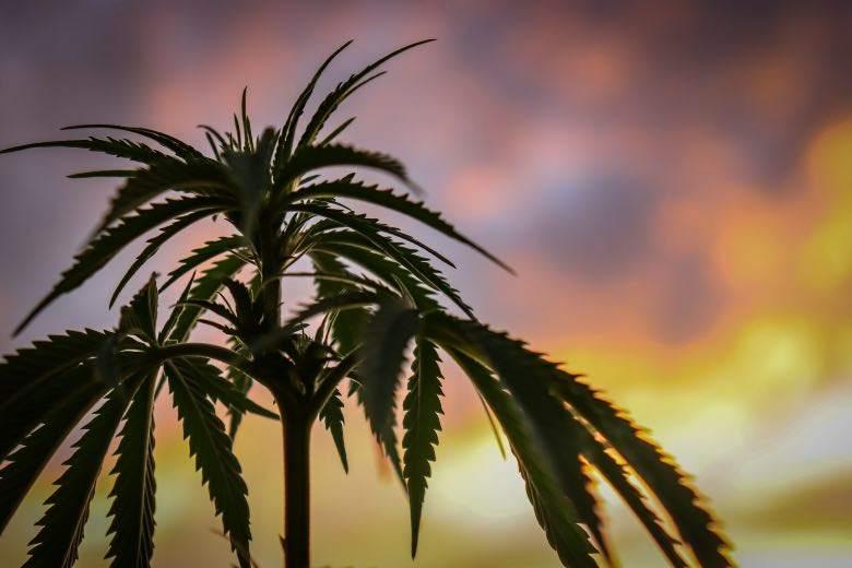 Cannabis Sativa: diferencia con la Indica