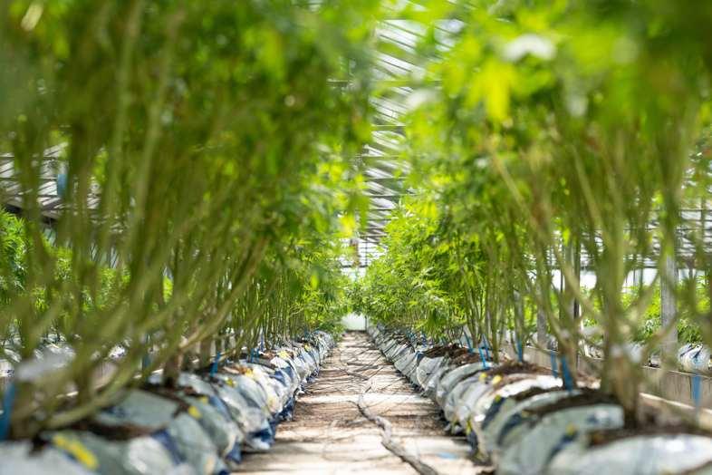 Plantas de cannabis autoflorecientes, defoliadas