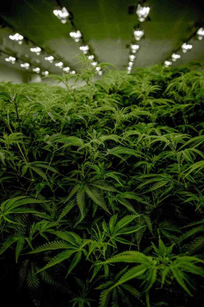 Cultiva semillas de cannabis y no cometas ningún delito