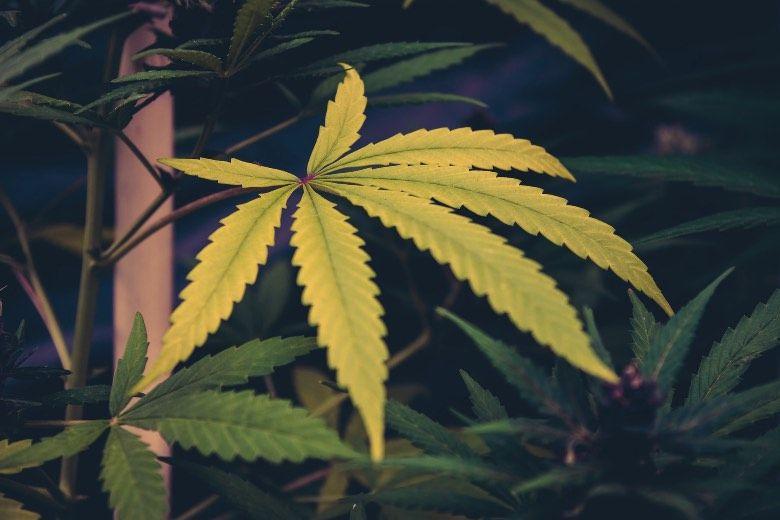 Causas de las hojas amarillas en la planta de cannabis
