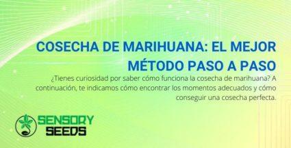 A continuación se explica cómo identificar el mejor momento para cosechar la marihuana.