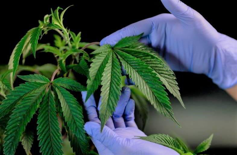Guía de cultivo de marihuana en interior.