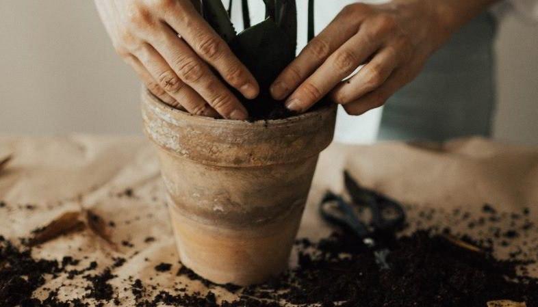 La planta de cannabis: ¿cómo se trasplanta?