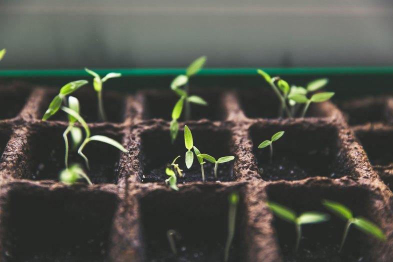 Cómo plantar semillas de cannabis