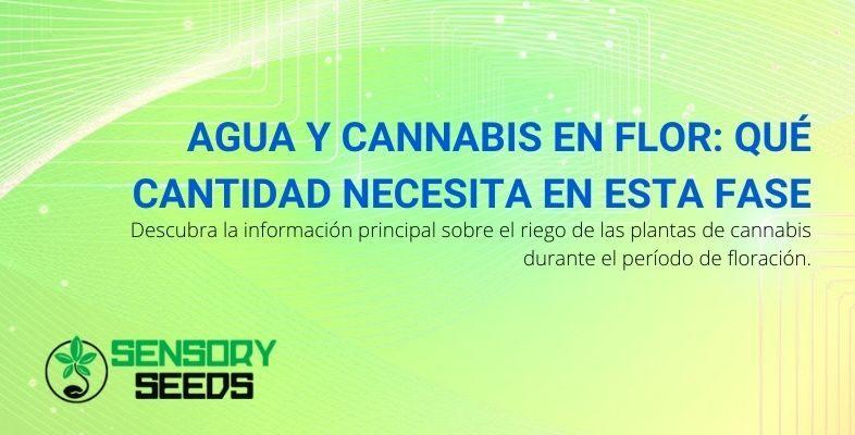 ¿Cuánta agua necesita el cannabis en la fase de floración?
