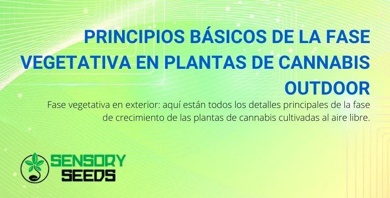 Fase vegetativa de las plantas de cannabis: principios básicos en el cultivo exterior