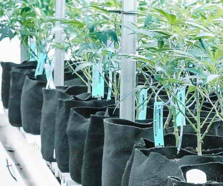 Forma irregular de la maceta: recipientes de tela para cannabis