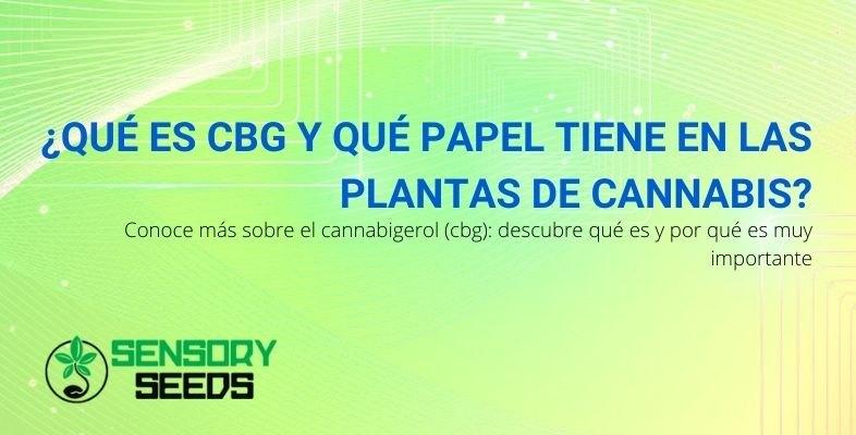¿Qué es CBG y qué papel juega en la planta de cannabis?