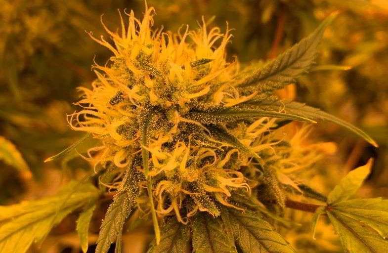 Brote de cannabis obtenido del cultivo de scrOG