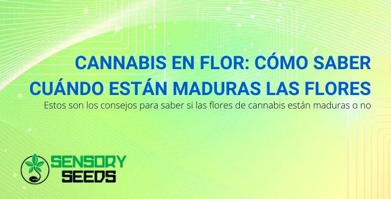 Consejos para saber cuándo están maduras las flores de cannabis