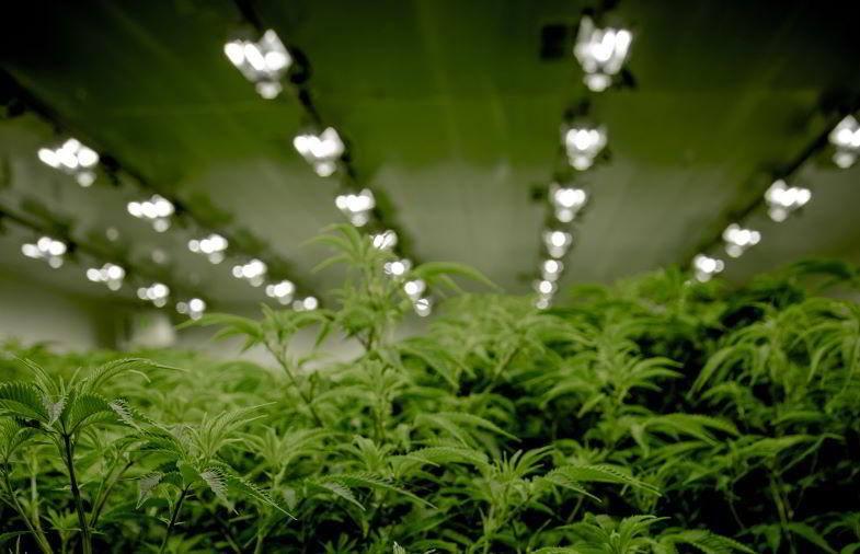 Iluminación interior de marihuana