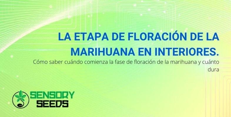 ¿Cuánto dura la fase de floración de la marihuana interior y cuándo comienza?