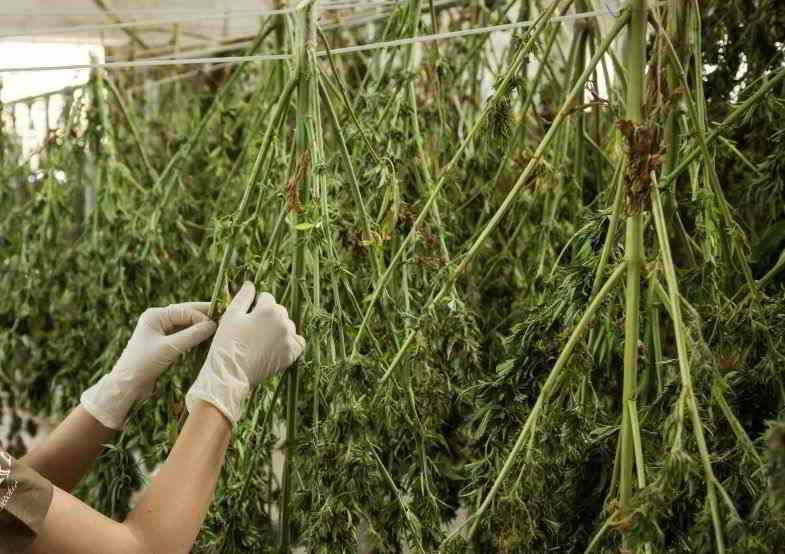 Plantas de cannabis colgadas para secar